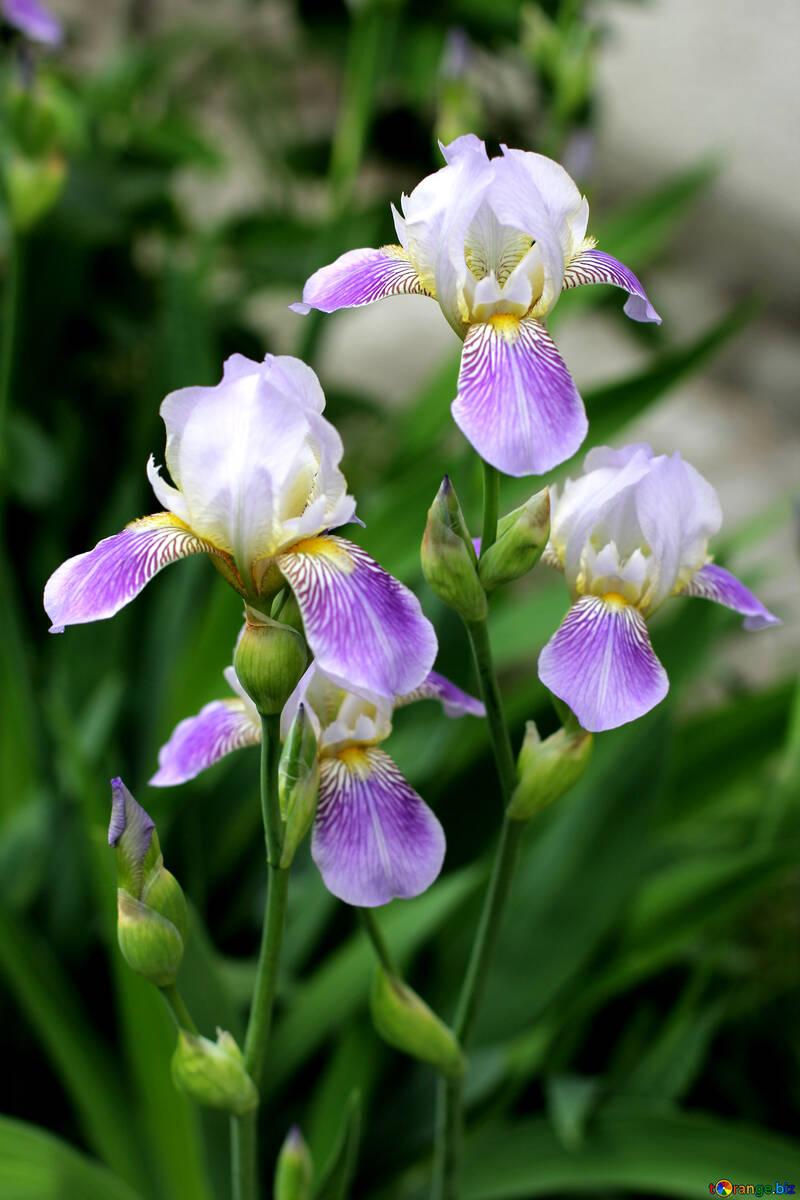 Multicolored Flowers Irises Iris Flower Spring 22357