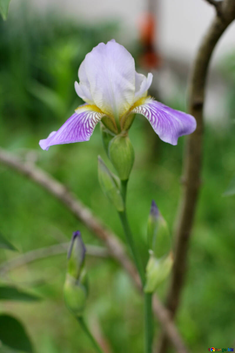 Multicolored flowers irises iris flower spring 22362 iris flower izmirmasajfo