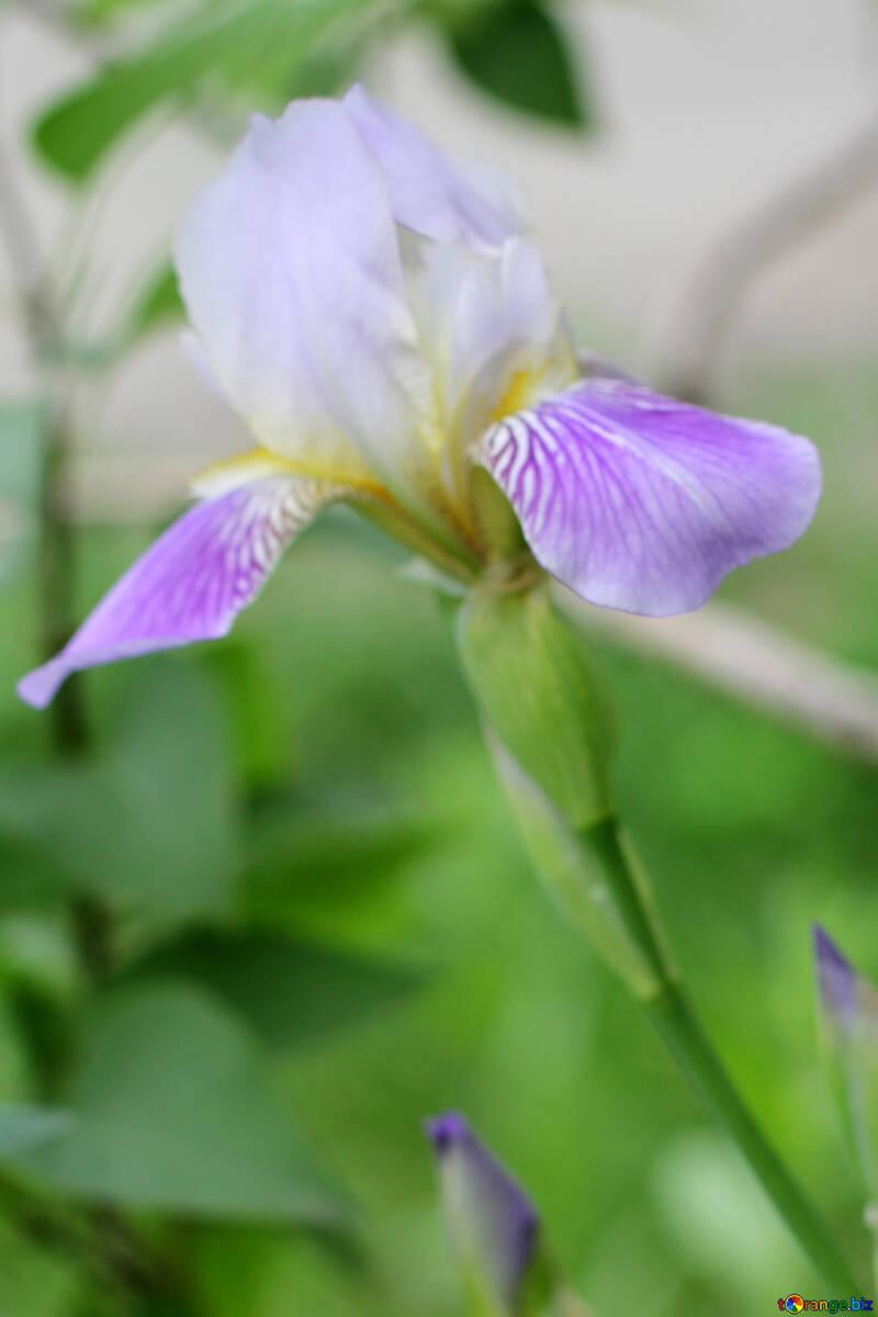 Iris flower plant №22361