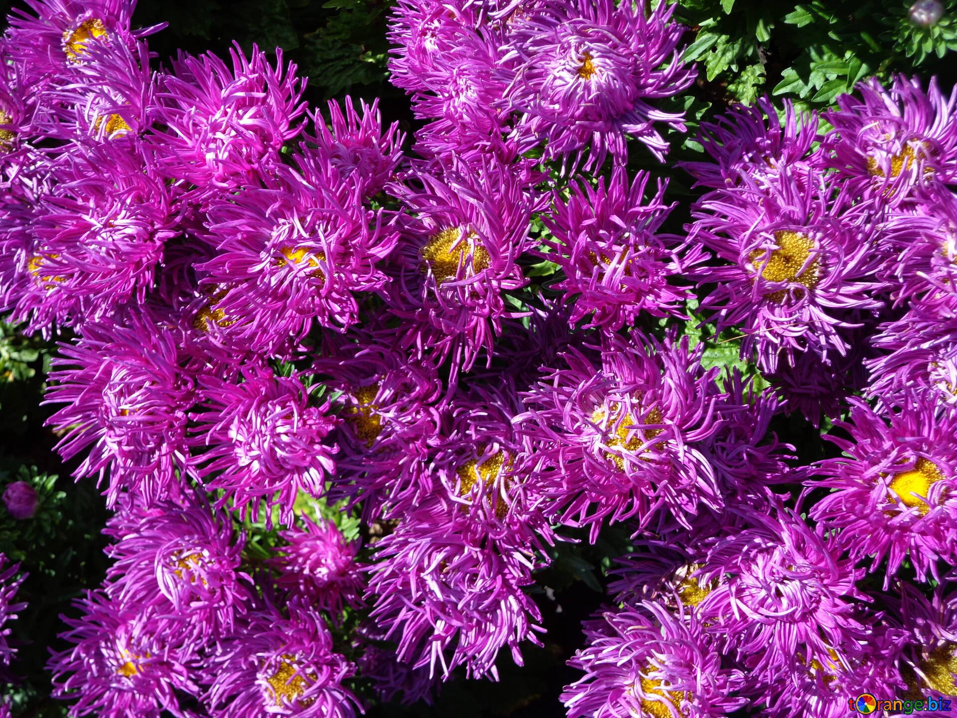 как цветы астра контраст фото картинку-превьюшку, чтобы скачать