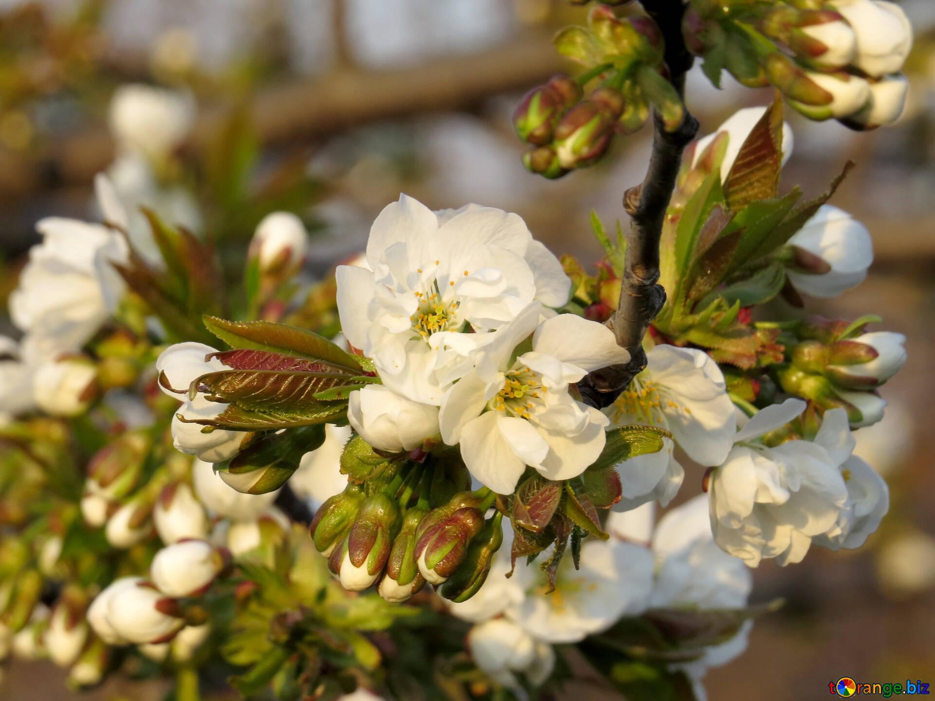 Hintergrund Mit Blühenden Zweige Der Bäume Frühling Desktop