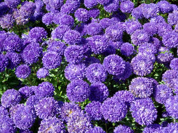 Asters №23467