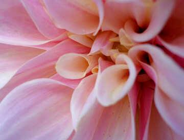 Grande fiore №23436