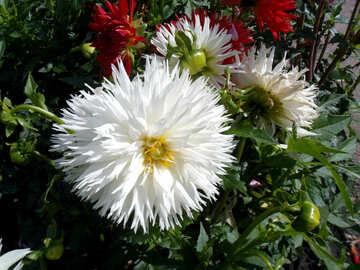 White dahlias №23387