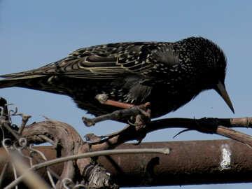 The black bird №23991