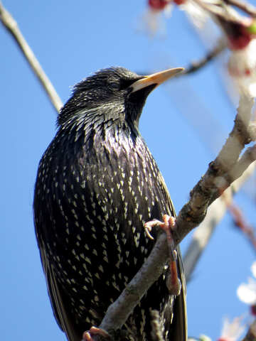 Common Starling №23958