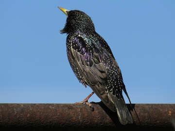 Song starling №23995