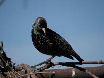 Starling №23983