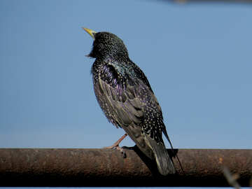 Starling №23996