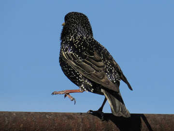 Starling is the pipe №23994