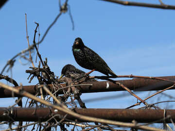Urban starlings №23985