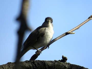 Bird with black cap №23967