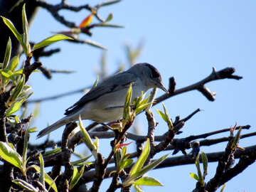 Gray white bird Blackcap  №23973