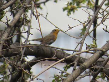 Robin №23901