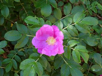 Wild Rose-Blume №23061