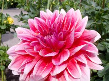 Dahlia flower №23397