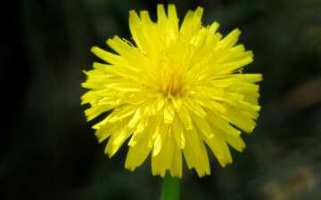Yellow dandelion flower №23055