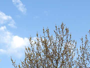 Albero contro il cielo di primavera №23916
