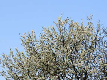 Albero in fiore №23932