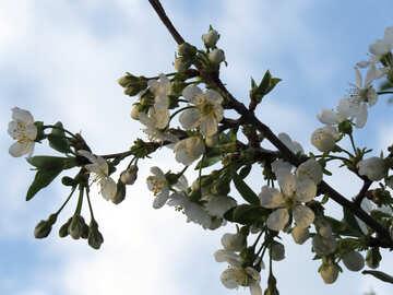 Albero in fiore №23945
