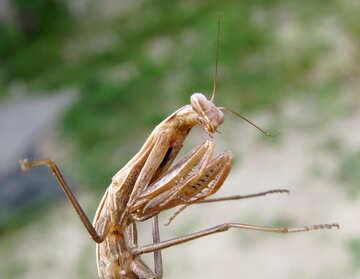 Predatory insect №23323