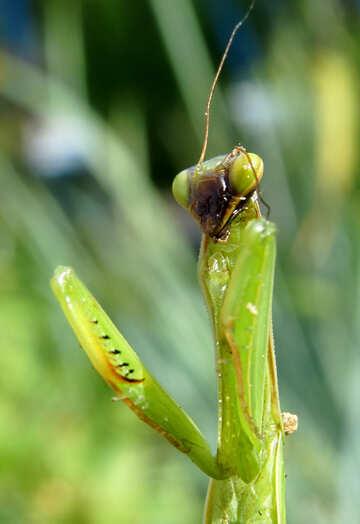 Mantis Macro №23309