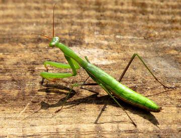 Mantis escapes №23304