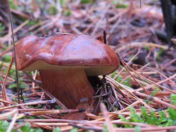 Edible mushroom with brown hat №23265