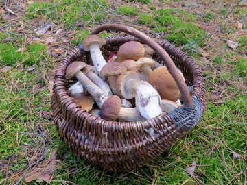 Full basket of ceps №23259