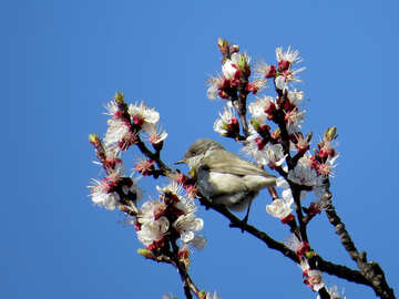 Bird on flowering branches №23962