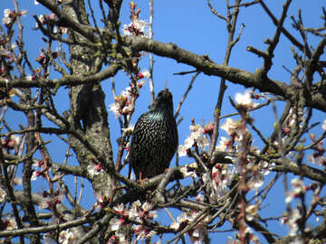 Starling in the branches of cherry blossoms №23979