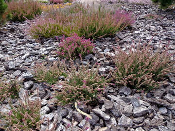 Heather in landscape design №23449