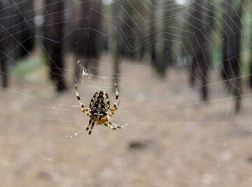 Spider Forest №23199