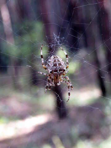 The spider in the woods №23114