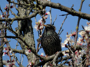 Starling in the branches of flowering tree №23976