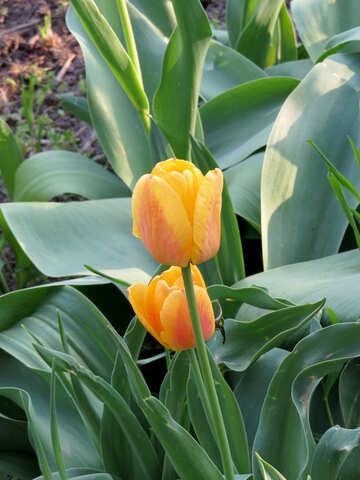 Tulips grow №23951
