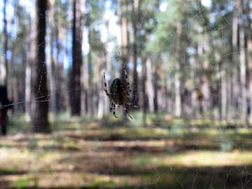 Spider in forest on the web №23282