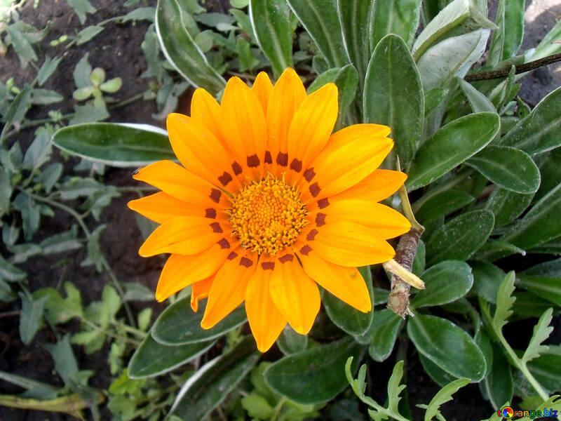 Gartenblume №23380