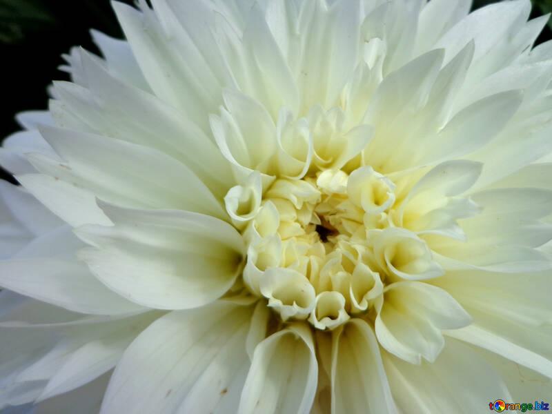 Flor de otoño blanco №23438