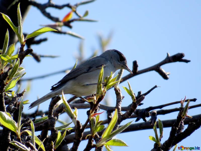 Черноголовая славка серо белая птичка с темно шапочкой №23973