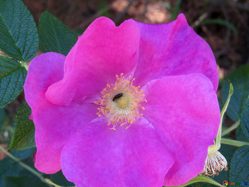 Eglantier Fleur De Rose Musquee Buisson 23063