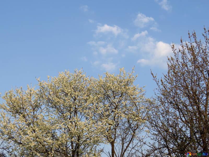 Фруктовый сад цветет №23915