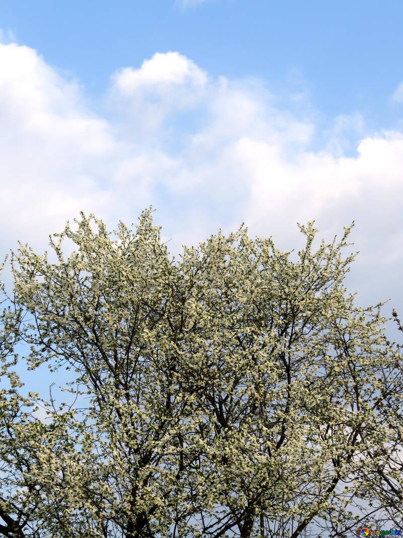 Цветущее дерево на фоне неба №23929