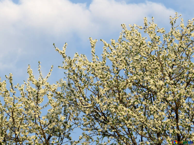 Tree in bloom №23918