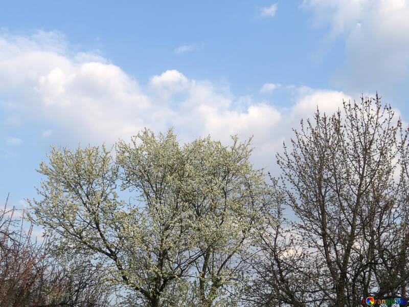 Весенне цветение деревьев №23930