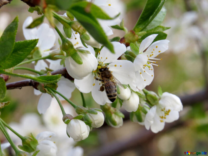 Pollination of fruit trees №23949