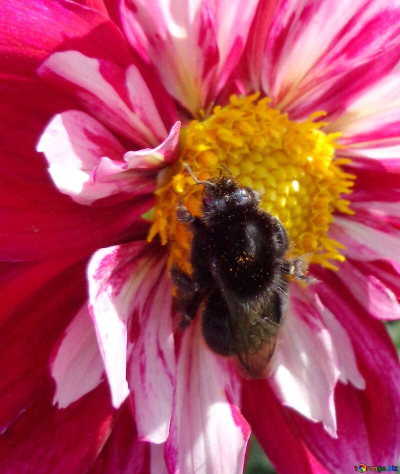 Bumble bee on flower №23429