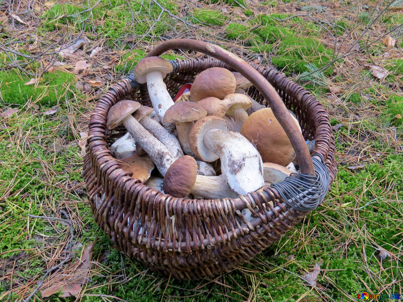Полная корзина белых грибов №23259