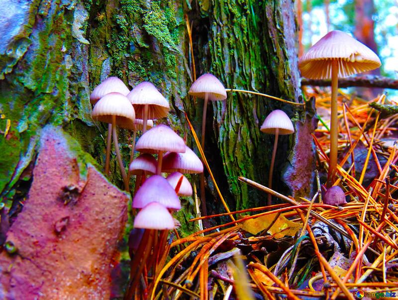 Acid mushrooms №23220