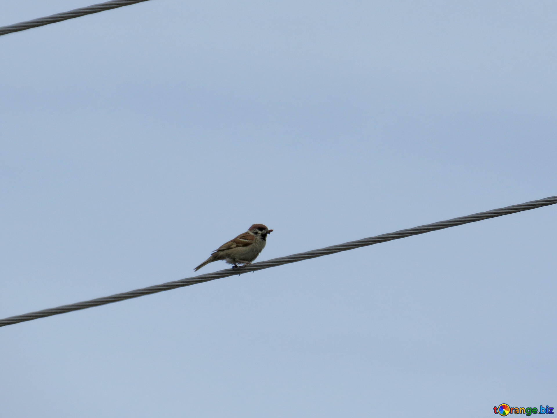 Bird Sparrows Small Bird On Wire Bird 24194